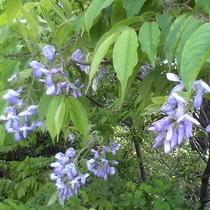 【園内の花】ヤマフジ 5月