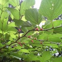 【園内の花】6月は山桑の実が実ります♪
