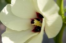 自家菜園に咲くオクラの花