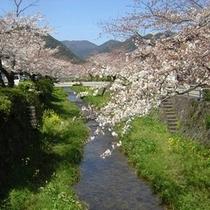 観光(山口市): 一の坂川(春)