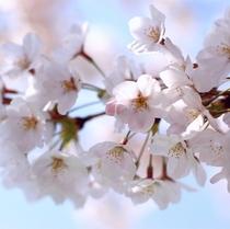 猿ヶ京の桜は例年4月中旬から楽しめます