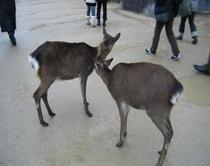宮島の鹿 とっても人懐っこい