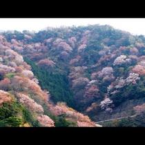 常神半島神子の山桜