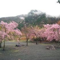 *【周辺・景観】桃色の美しい花が咲き誇る「梅ヶ島の桜園」。当館よりお車で約10分です。