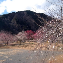*【周辺・景観】園内に約500本の梅が植えられている「梅ヶ島の梅園」