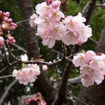 伊豆高原の春を告げる*大寒桜
