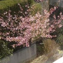 バスルームの窓越しからの河津桜