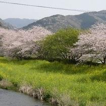 松崎町、那賀川沿いの菜の花と染井吉野