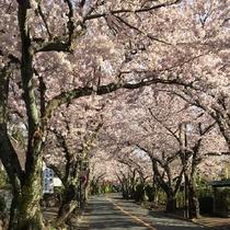 伊豆高原の駅より続く、桜並木