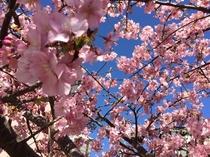 サントロペガーデンの河津桜