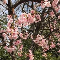 伊豆高原の春を告げる、大寒桜