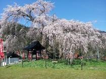 泰雲寺しだれ桜