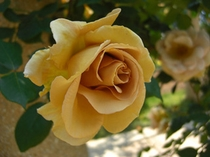ハイジの村のバラ2