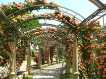 バラの回廊1