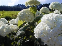夏の間咲き続けるアナベルの白い花