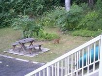 庭にキツネが現われました