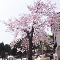 *【周辺(春)】厳しい長い冬を越えた桜は、春の到来を感じさせてくれます。