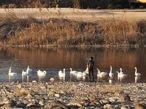 毎年冬に訪れる白鳥