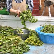 *山菜の収穫