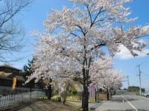約3000本の桜に彩られる泉崎の春