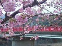 河津桜の季節です^^