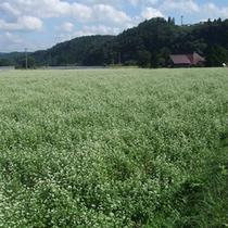 白い花の絨毯が広がる蕎麦畑