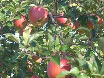 蓼科リンゴ