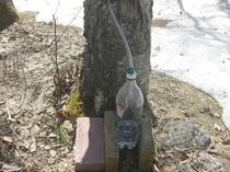 白樺の木の樹液