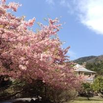 河津桜と外観
