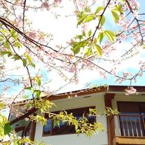 早春の庭 河津桜はライムグリーンの葉桜も綺麗です