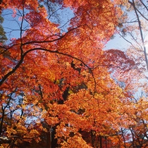 長瀞月の石もみじ公園の紅葉(11月中旬〜下旬)