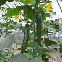 【季節の野菜収穫・きゅうり】お子様と一緒に楽しんで下さいね。