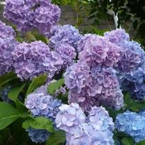 【紫陽花】6月下旬〜7月上旬にかけて、秩父ミューズパークの紫陽花がきれいに咲きます。