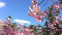 白子 河津桜