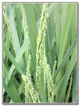 稲の出穂直後の花