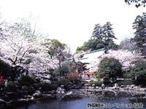 【浅間神社】桜