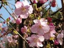 ホテル前河津桜