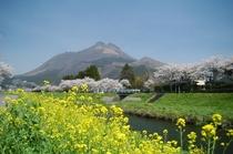 湯布院大分川の春
