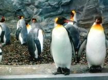 旭山動物園のペンギン達