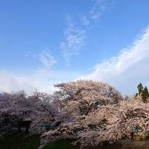 鶴ケ城の桜