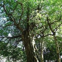 アコウの大樹