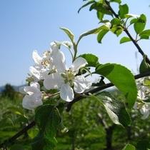 津軽りんごの花