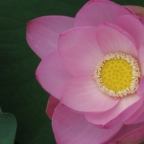 平川市猿賀神社蓮の花