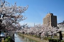 .春はホテル前の福島江の桜が見事です.