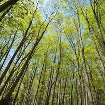すらりとした立ち姿が美しい「美人林」。十日町市の夏のオススメスポットです。(車で60分)