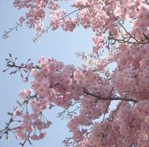 兼六園の桜が満開☆春うららと心が躍りますね♪