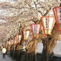 金沢の桜☆浅ノ川の見事な桜です♪通称女川と申します☆