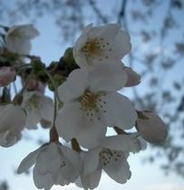石川門から見た桜一輪☆
