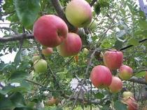 フジリンゴは、3月下旬まで、シャキシャキ感、あり。