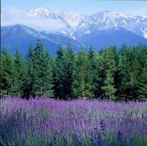 白馬三山とラベンダー